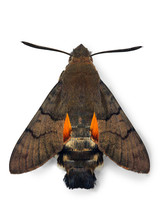 Hummingbird Hawk-moth Macroglossum Stellatarum, From Europe