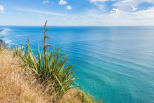New Zealand Flax Single Plant At The Bluff Above The Sea