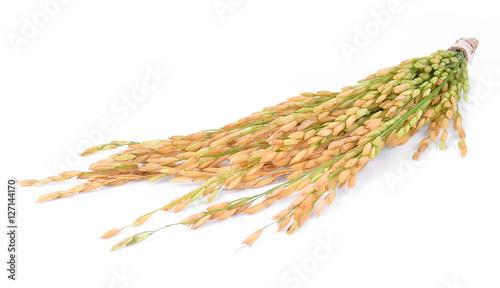 Fotografie, Obraz  Paddy rice isolated on white background