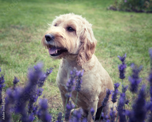 Photo  A Cockapoo dog sitting behind a lavender bush looking in the distance