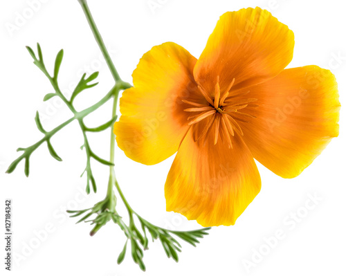 Fotografie, Obraz  flower Eschscholzia californica (California poppy, golden poppy, California sunl