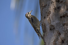 A Ladder Backed Woodpecker Forages On A Palm Tree Florida USA