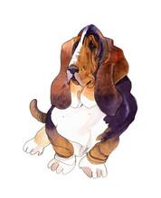 Handwork Watercolor Illustration Of Dog Basset Hound In White Background.