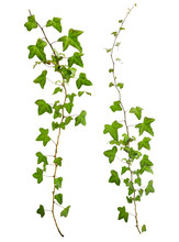 Sprig Of Ivy With Green Leaves...