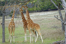Foraging Giraffes Stripping Bark And Buds Off A Tree