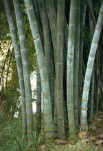 Bamboo Stems In The Peradeniya...
