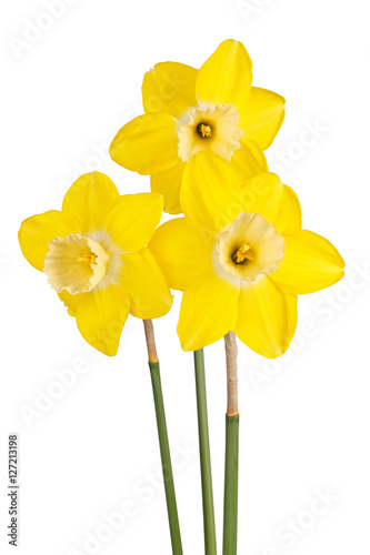 Deurstickers Narcis Three flowers of a reverse-bicolor daffodil cultivar isolated