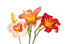 Three Different Daylily Flowers Isolated