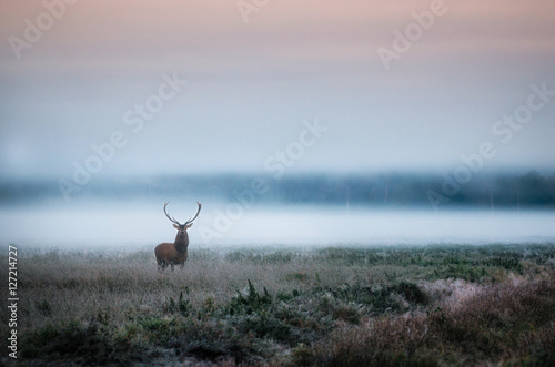 Photo sur Toile Bestsellers Beautiful red deer stag on the field near the foggy misty forest landscape in autumn in Belarus.