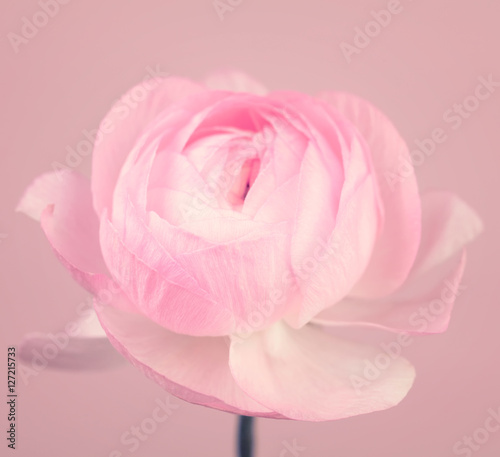 Photo  Close up of beautiful soft pink ranunculus flower