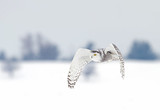 Snowy owl (Bubo scandiacus) hunting over a snow covered field in Canada - 127224304