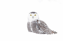 Snowy Owl (Bubo Scandiacus) Isolated On A White Background Standing In A Snow Covered Field In Winter In Canada