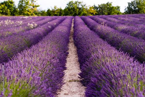 Poster Prune Fields of Lavender