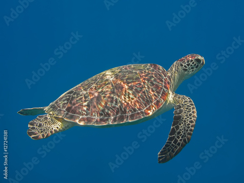 In de dag Schildpad Green sea turtle in blue sea water, tropical tortoise swimming underwater