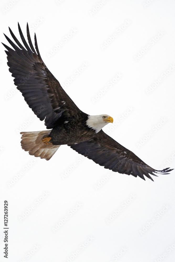 Bald Eagle in flight against white Sky