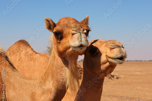 Foto op Canvas Dubai Camels in the desert