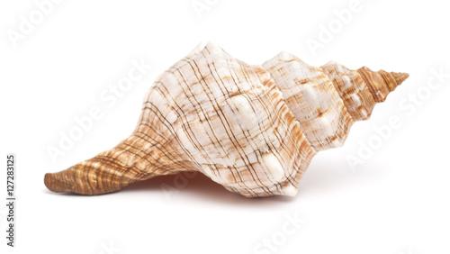 Valokuva  Pleuroploca trapezium, trapezium horse conch
