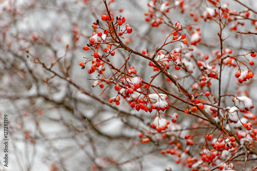 Rowan branch in the snow Canvas Print