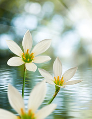image of beautiful white flower on water background close-up