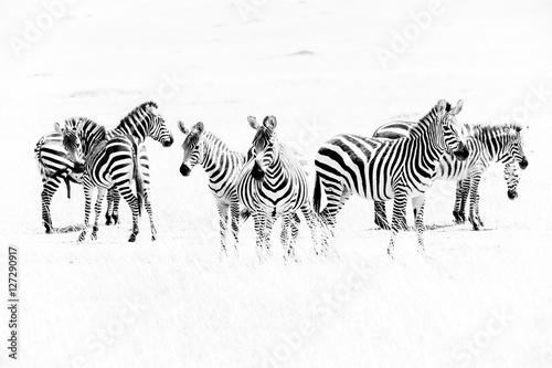 Zebra Zebras in the African savannah