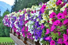 Baskets Of Hanging Petunia Flowers