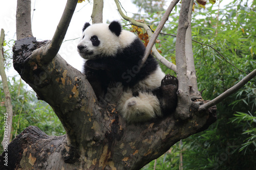 Stickers pour porte Panda Panda on the Tree