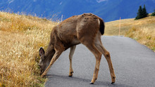 Hurricane Ridge, Olympic National Park, WASHINGTON USA - October 2014: A Blacktail Deer Stops To Admire The View Of The Mountains And Eating Gras.