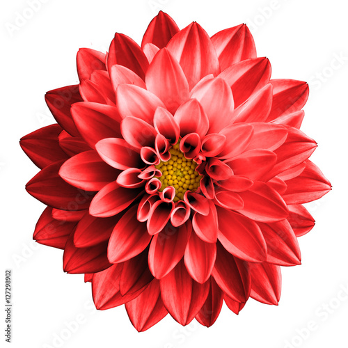 Surreal dark chrome red flower dahlia macro isolated on white