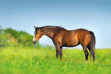 Bay Horse Standing On Spring Green Pasture