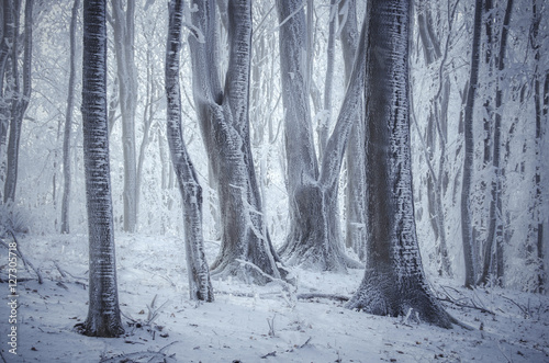 frozen trees in misty winter forest Canvas Print