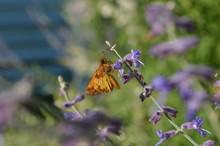 Copper Colored Skipper Moth On Purple Russian Sage