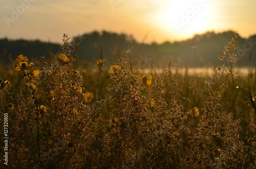 Foto  Peaceful Sunrise shining through delicate buttercups and grass in a country fiel