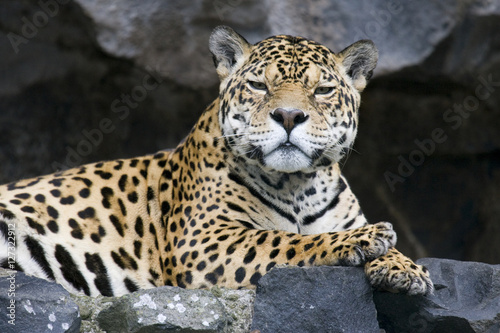 Poster Leopard Jaguar (Panthera onca) lying on a rock staring into the camera in Ecuador.