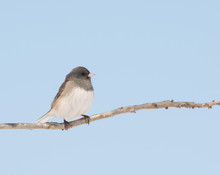 Dark-eyed Junco Sitting In An Oak Tree Against Pale Blue Winter Sky