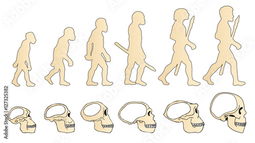 Fototapeta Evolution Of The Skull. Human Skull. Australopithecus. Homo Erectus. Neanderthalensis. Homo Sapiens. Vector Collection. Illustration On White Background. Darwin'S Theory. The History Of Mankind. obraz