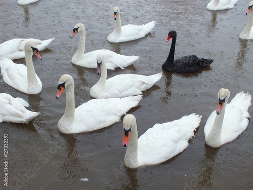 It doesn't matter if you are black or white.  A gaggle of swans waiting for bread thrown by tourists and locals alike