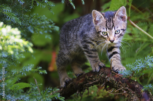 Young wild cat hunting among the bushes Canvas Print