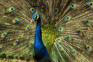 Obraz na Szkle Style Lovely Indian Peacock bird with open feathers plumage at Kolkata zoo.