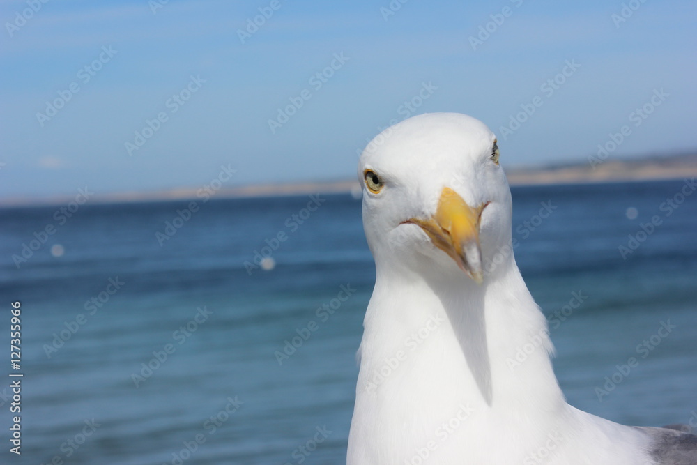 Funny curious seagull in Santa Barbara, California