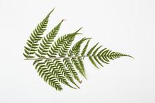 Fern Herbarium On White