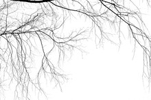 Birch Branches On A White Back...