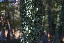 Green Ivy Leaves Climbing On T...