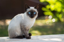Blue Eyed Cat Looks At The Cam...