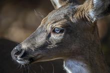 White Tailed Deer Facial Profile Closeup Portrait