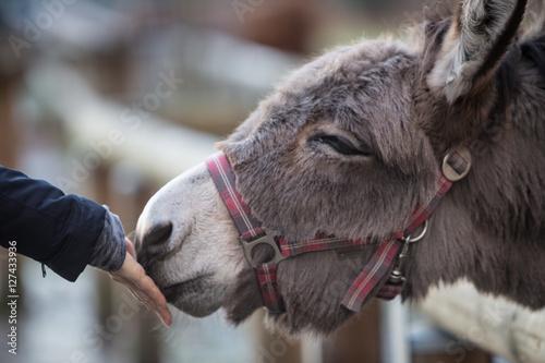 Foto auf Gartenposter Esel esel, fütterung
