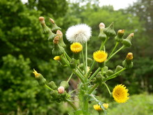 Sonchus Asper (Prickly Sowthistle) Showing All Stages Of Development From Bud To Flower To Seed Stage.