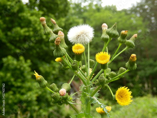 Obraz na plátně Sonchus asper (Prickly Sowthistle) showing all stages of development from bud to flower to seed stage