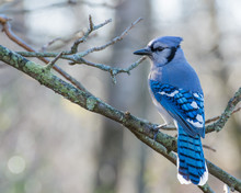 Blue Jay Perched
