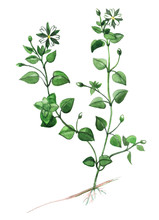 Chickweed Plant Food; Chickweed Medicinal And Food Plant  On A White Background