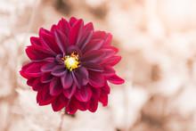 Hybrid Red Dahlia Flower, Sele...